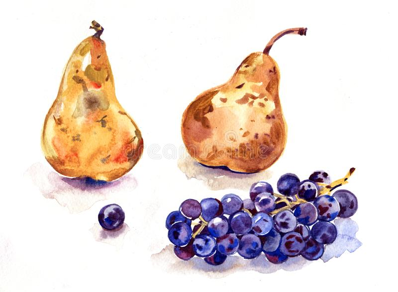 Fruits watercolor still life painting - grape and pears. Prosperity symbol. Hand drawn sketch watercolor illustration on vector illustration
