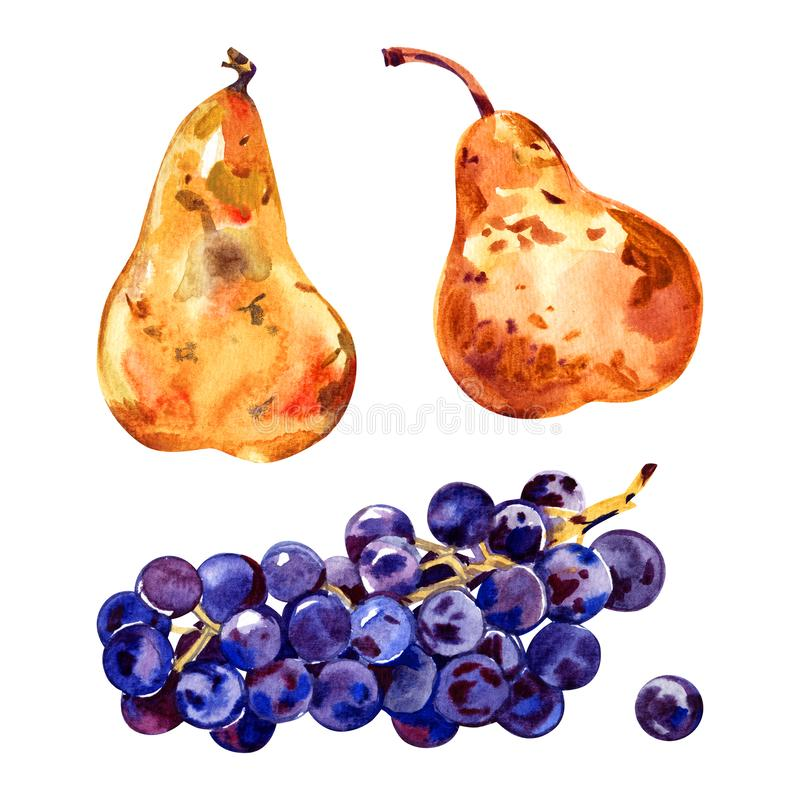 Fruits watercolor still life painting - grape and pears. Prosperity symbol. Hand drawn sketch watercolor illustration on royalty free stock image