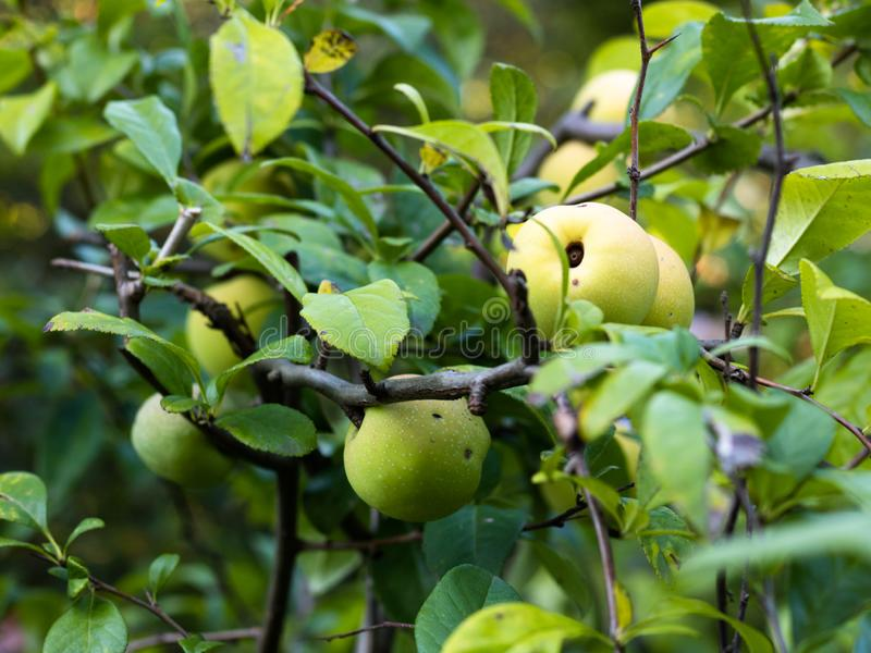 Fruits of wild apple Malus sylvestris ripening on apple tree branch during late summer or early autumn stock images
