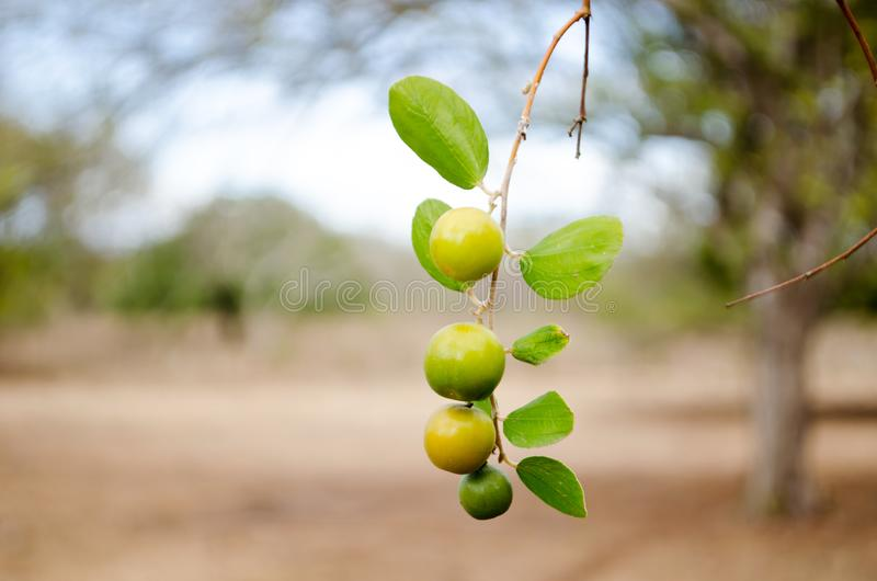 Fruits of Ziziphus mauritania. They are known as `guinda` in Panama. This specie is also know as Chinese date, ber, Chinee apple, jujube, Indian plum, Regi pandu royalty free stock photos