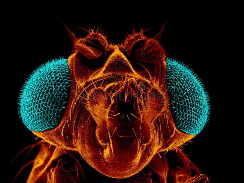 Fruitvlieg stock afbeeldingen