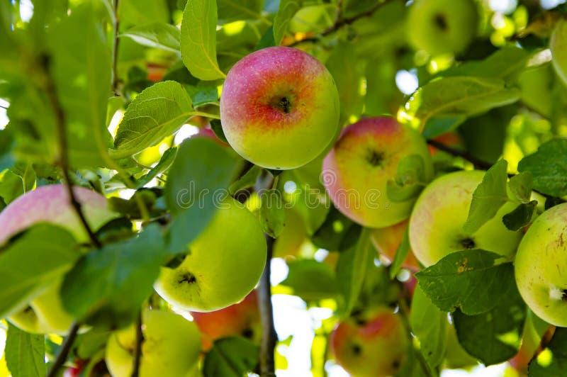 Fruktäpple på en trädfilial på en solig dag royaltyfri bild