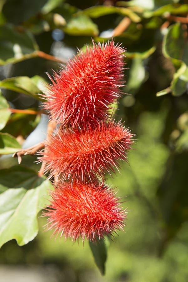 Frukt av achiote på trädet - Bixa orellana royaltyfria bilder