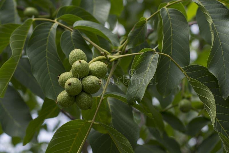 Frukt av en valnöt, mognar på ett träd, valnöt arkivfoton