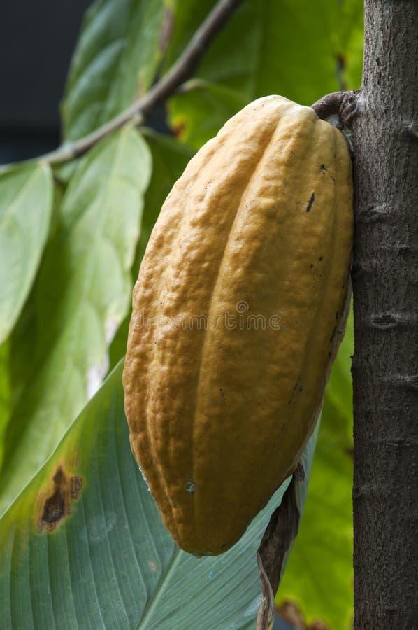 Frukt av ett choklad- eller theobromakakaoträd royaltyfria bilder