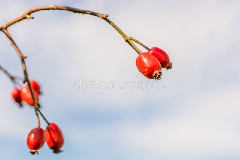 Frukt av ett nypon med blå bakgrund arkivbild