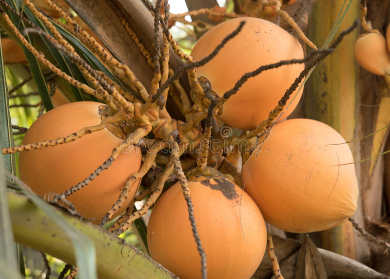 Frukt av kokospalmen arkivbilder