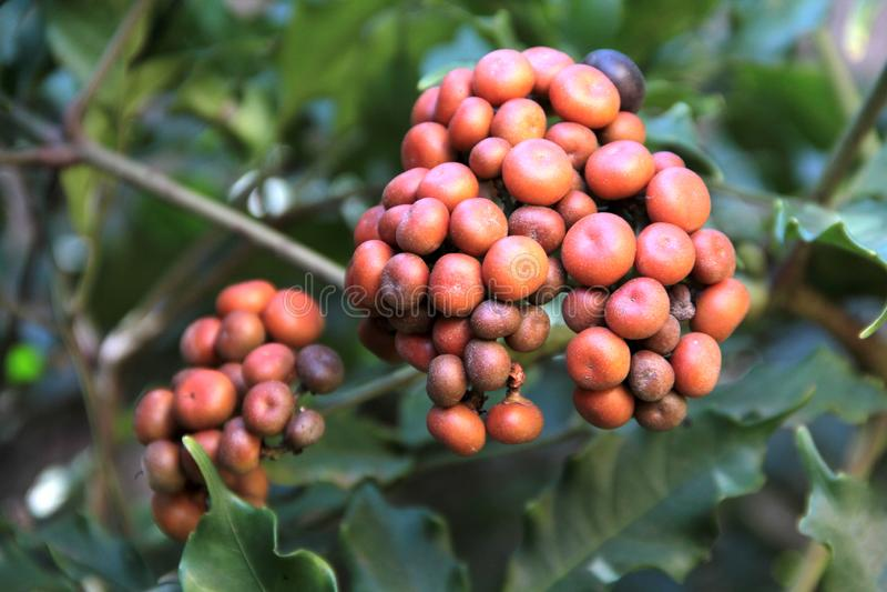 Frukt av trädgårdväxten royaltyfri bild