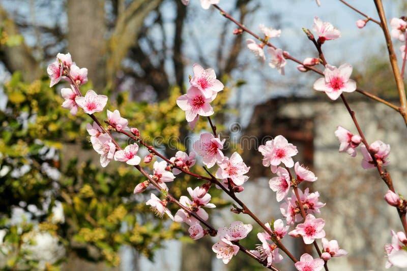 Frukt för blomningar för persikaträd Blommor, knoppar och filialer av persikaträdet, i vår Vår- och sommarblommasäsong royaltyfria bilder