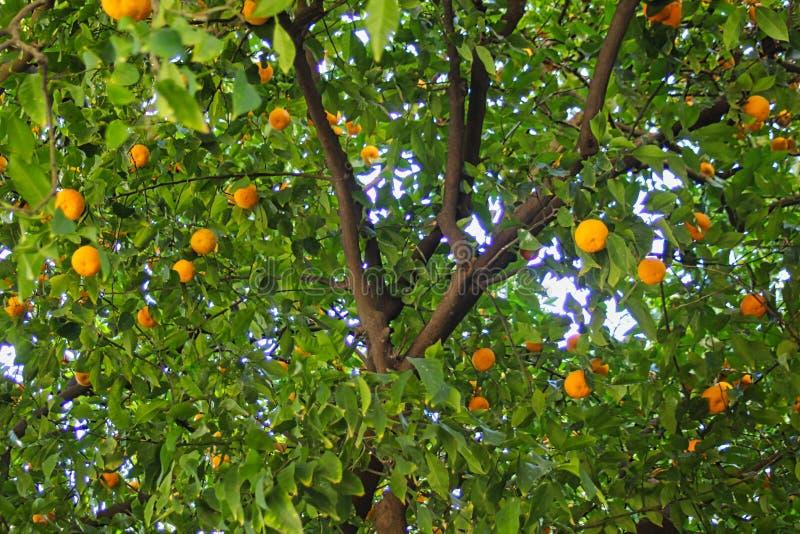 Frukt för orange träd arkivfoto