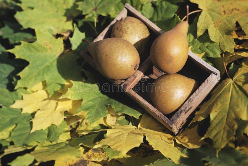 Frukt för pyrus för nedgångstillebenpäron i träkorg på lönnlövbakgrund fotografering för bildbyråer