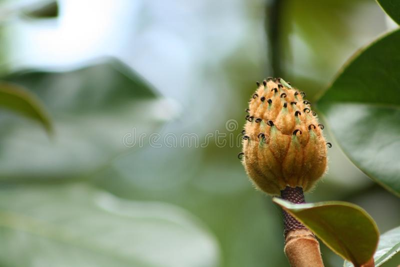 Frukt för sydlig magnolia arkivbilder