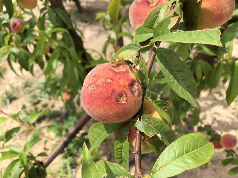 Frukt som förstörs av hagel arkivbild