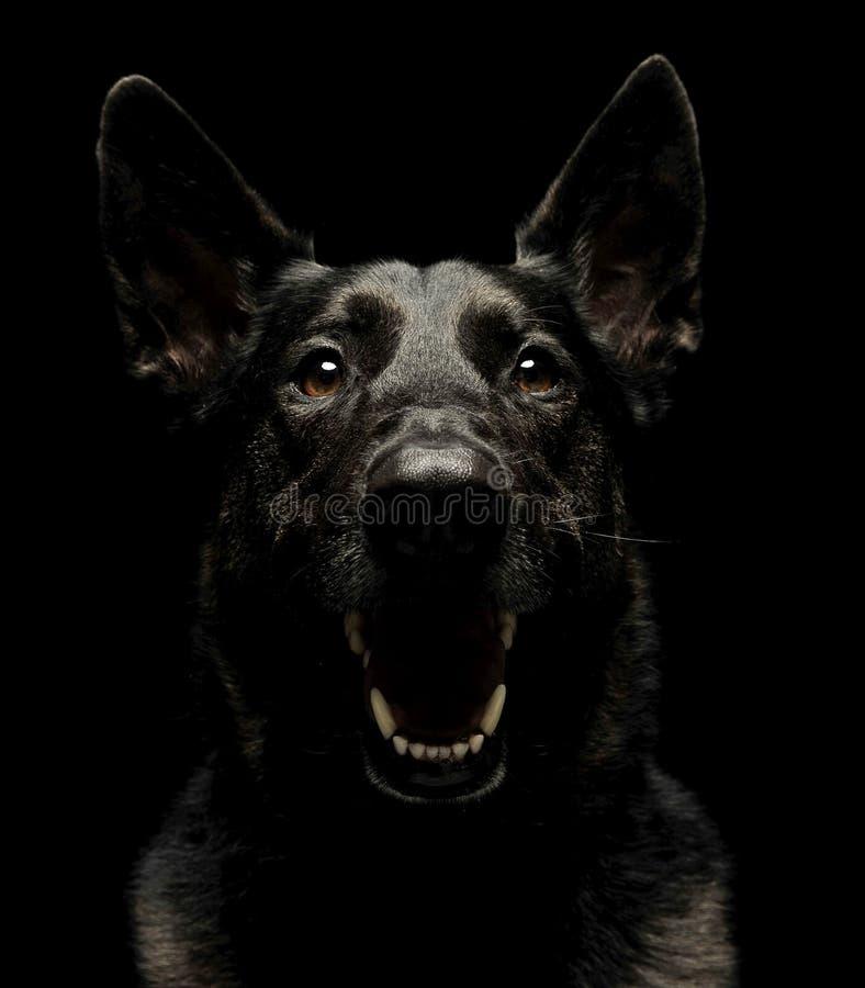 Fruktansvärd svart tysk herde Dog i mörk studio royaltyfri fotografi