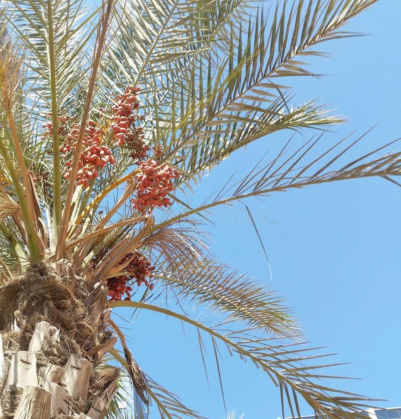 Frukten av datumträdet royaltyfri foto