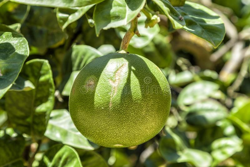 Frukten av en grapefrukt som hänger från växten, på den Kolymbetra trädgården Tempeldal Agrigento Sicilien, Italien royaltyfri fotografi