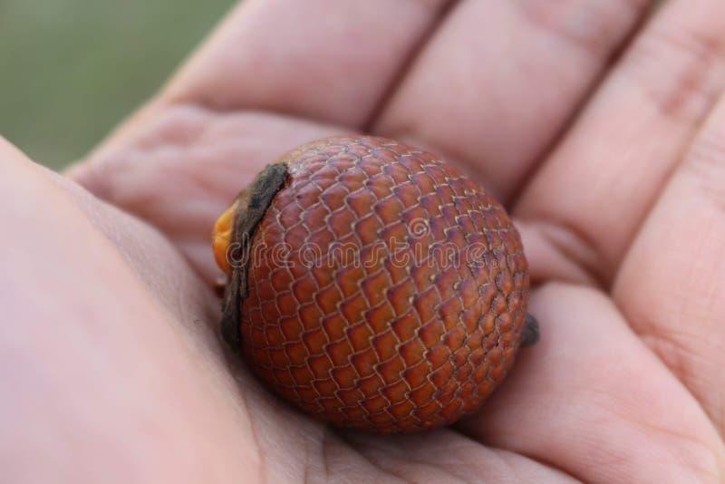 Frukten av ett träd kallade Buriti arkivbilder