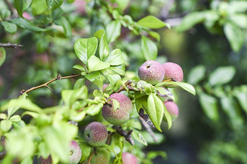 Frukten av kvitten som blommar i trädgård royaltyfria bilder