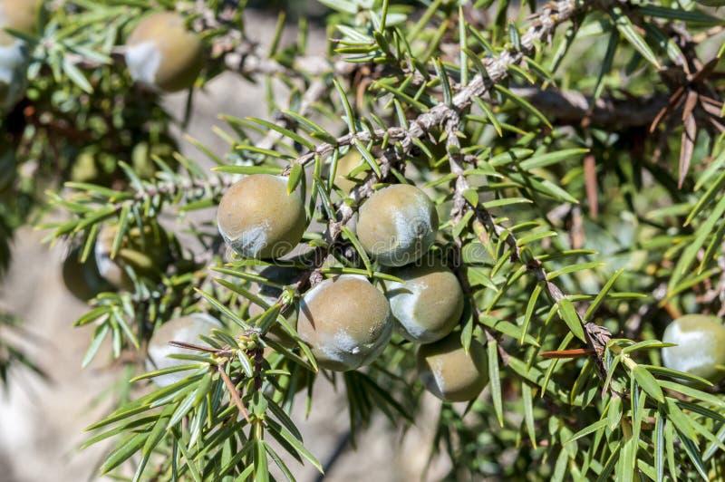 Frukter av den taggiga en, Juniperusoxycedrus arkivbild