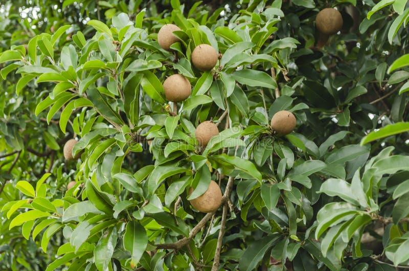 Frukter av det vintergröna Sapodillaträdet royaltyfria bilder