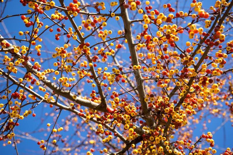 Frukter av Malustoringoen arkivfoto