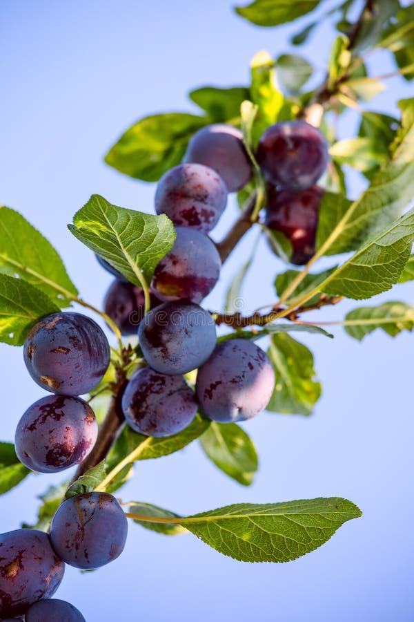 Frukter av plommonträdet arkivfoton
