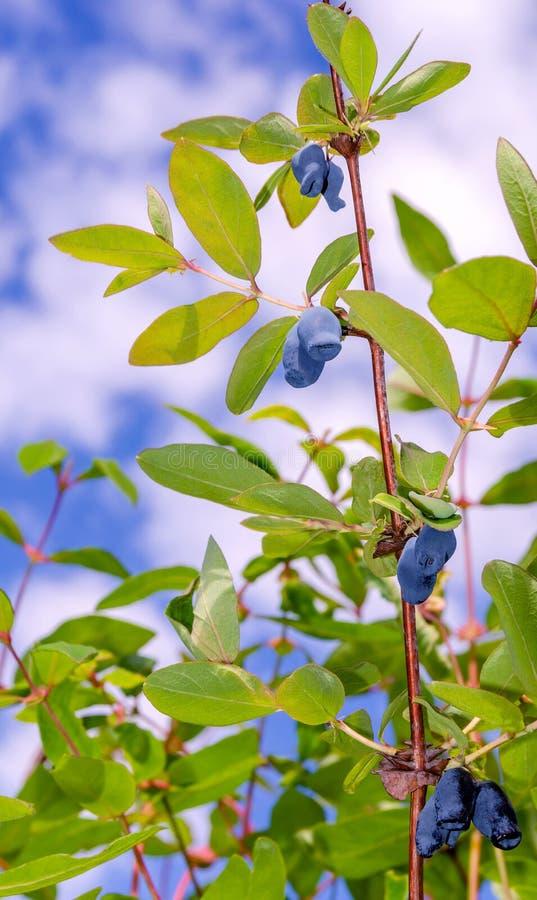 Frukter för Bush kaprifol i himlen arkivbilder