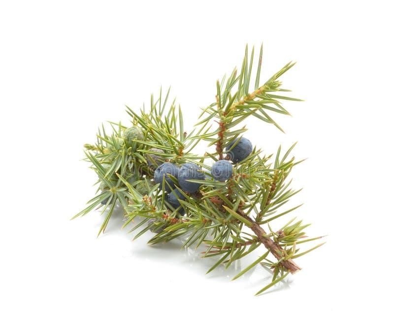 Frukter för gemensam en (den communis juniperusen) arkivbilder