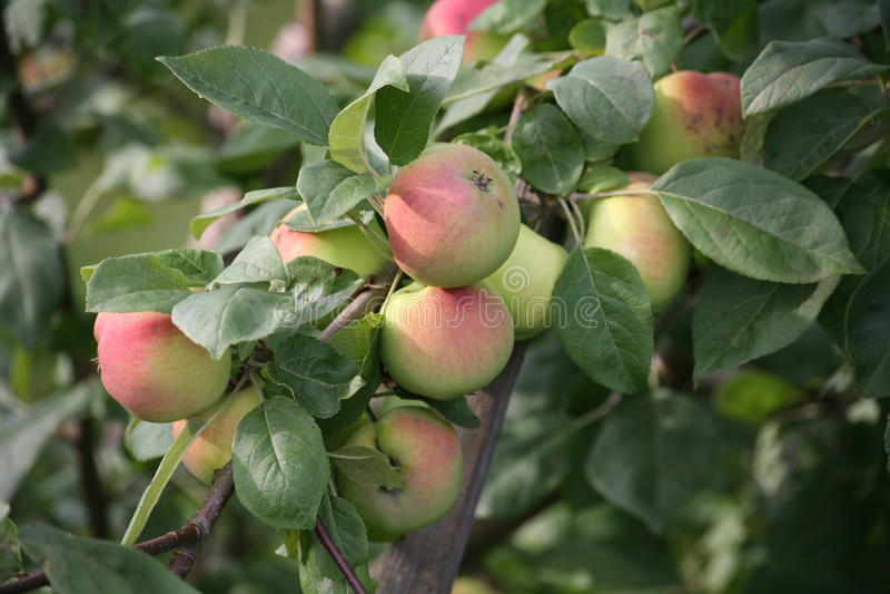 Frukterna av gula röda mogna äpplen på filialerna av kultiverade Apple träd i sommarengelska arbeta i trädgården arkivfoto
