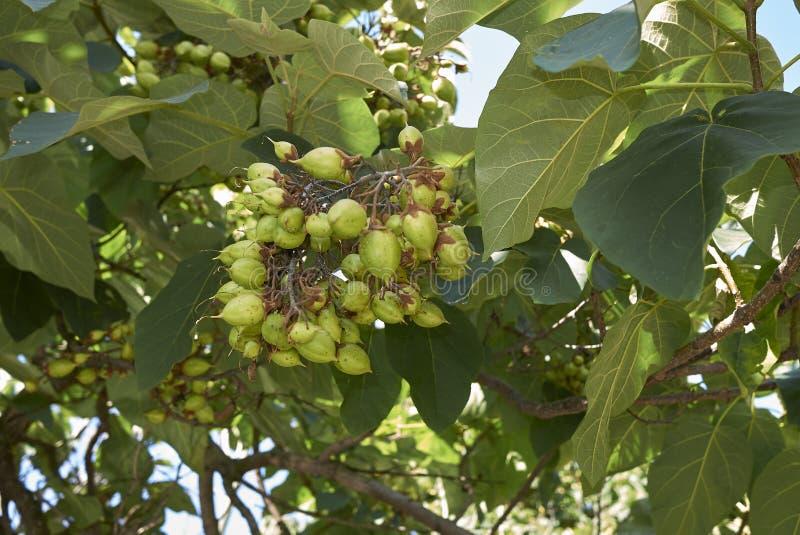 Fruktgrupp av Paulowniatomentosaträdet arkivbilder