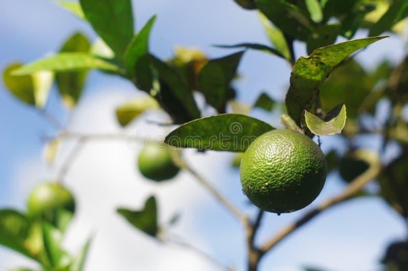 fruktlimefrukt royaltyfri bild