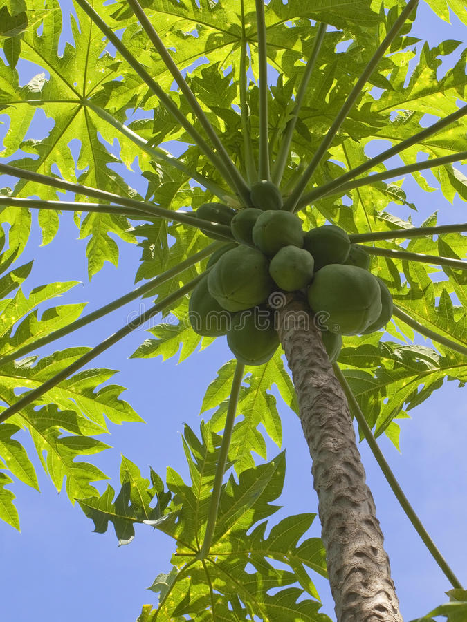 fruktpapaya royaltyfria foton