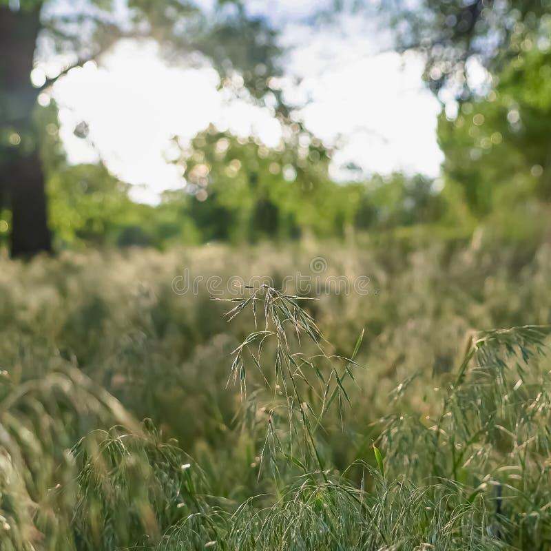 Fruktsamma solbelysta gröna gräs för fyrkantig ram som växer i vildmarken som beskådas på en solig dag royaltyfria bilder