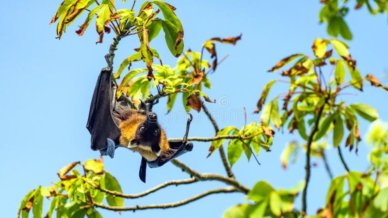Fruktslagträ, översida för hund för flyg för flygräv hängande på ett träd, Maldiverna arkivbilder