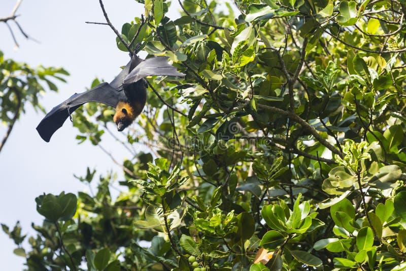 Fruktslagträ på de tropiska öarna av Seychellerna arkivbild