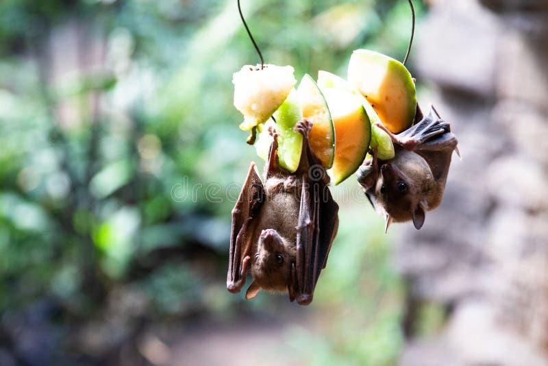 Fruktslagträn som äter på frukt på zoo royaltyfri foto