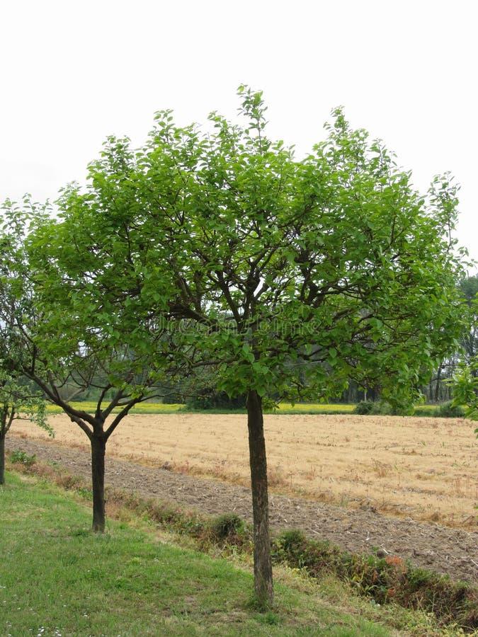 Fruktträd med gröna sidor i vår italy tuscany arkivfoton