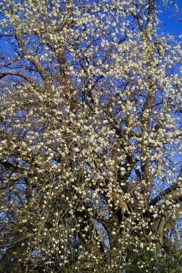 Fruktträdblomning: sura körsbärsröda Prunuscerasusblomningar i våren, körsbärsrött träd i blom arkivbilder