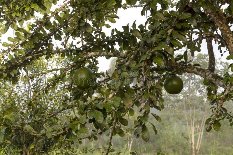 Fruktträdet på djungler brukar i Sydamerika arkivbild