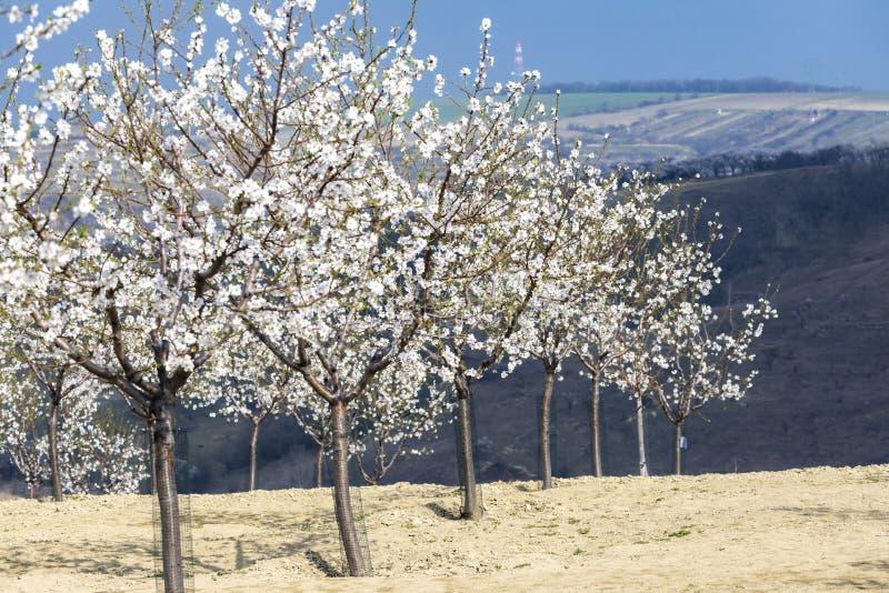 Fruktträdgård för mandelträd i Hustopece, södra Moravia, Tjeckien royaltyfri fotografi