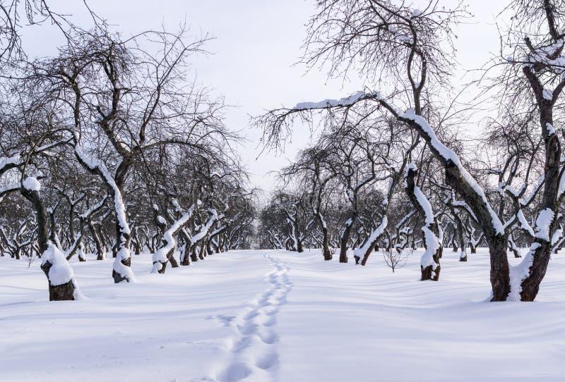 Fruktträdgård i vinter arkivbild
