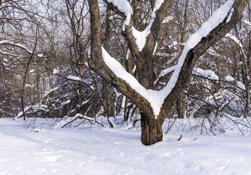 Fruktträdgård i vinter arkivfoton