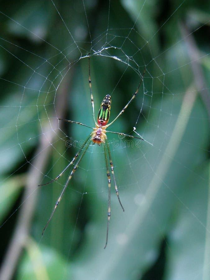 Fruktträdgård Weaver Spider arkivfoto