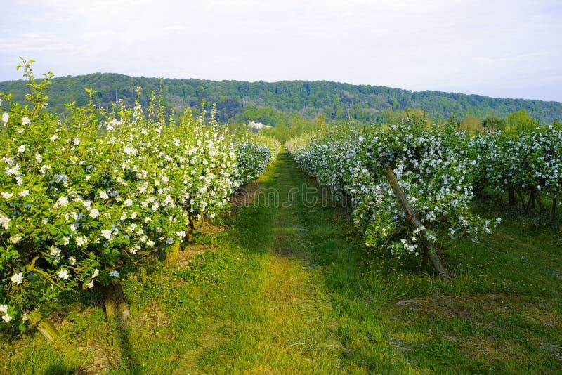Fruktträdgårdar för Apple träd i Normandie, vårblomning av äppleträd, produktion av berömd äppeljuice av Normandie, Frankrike arkivfoton