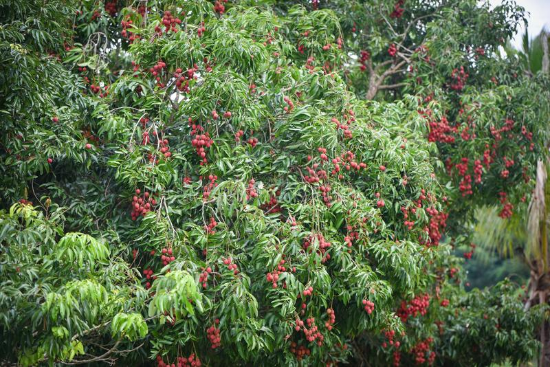 Fruktträdgårdlitchiplommonfrukt royaltyfri bild