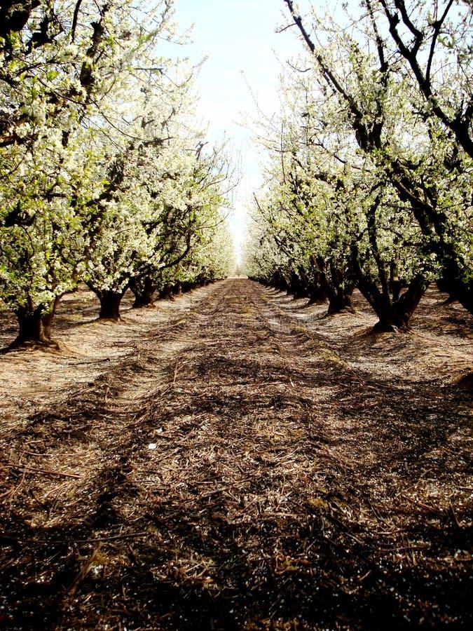 fruktträdgårdwhite fotografering för bildbyråer