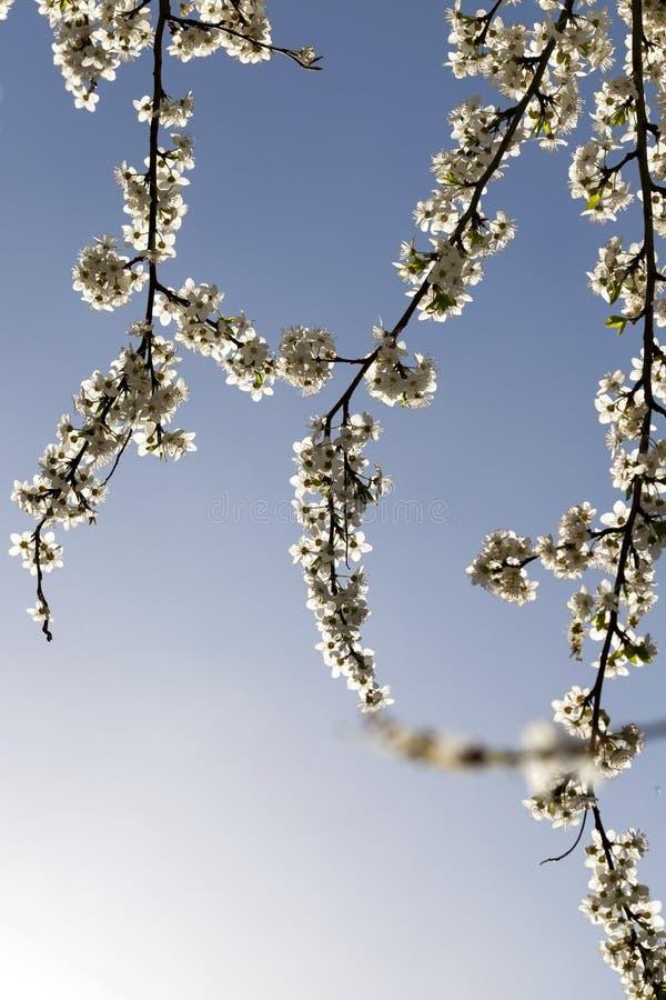 fruktträdkörsbär arkivfoton