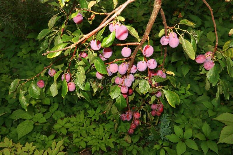 Fruktträdplommon och sidor som bakgrund arkivbilder