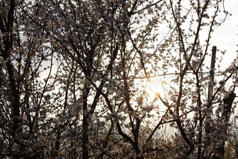 Frukttr?d som blommar i vitt i tidig v?r i tr?dg?rden p? en solig dag royaltyfria foton