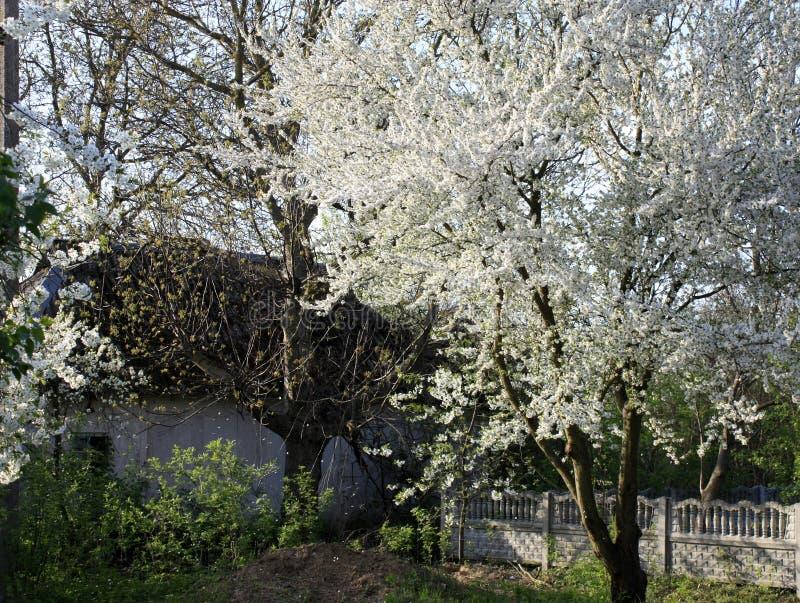 Frukttr?d som blommar i vitt i tidig v?r i tr?dg?rden p? en solig dag arkivfoton